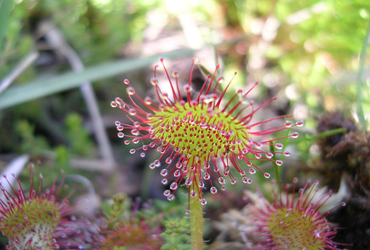 3 drosera a feuilles rondes PP